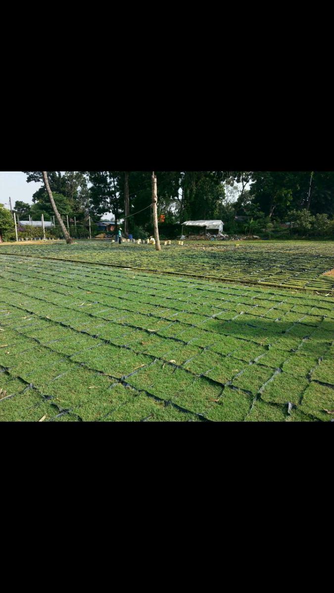 carpet grass nersery