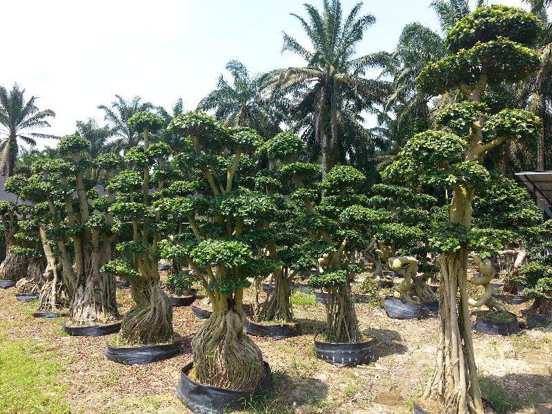 new arrival bonsai