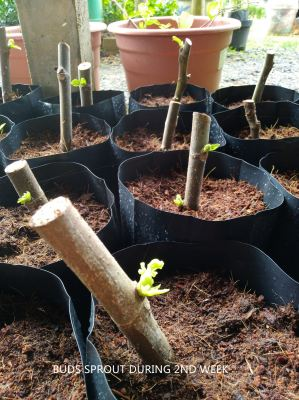 PLANT FIGS FROM CUTTINGS