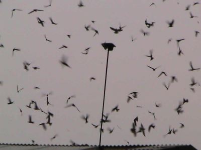 Audio Attracts Swiftlet