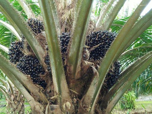 Palm Oil Farm- Sabah Lawas (Miracle' Customer)