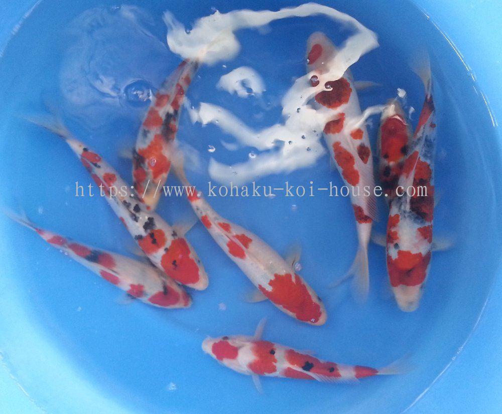 Johor showa sanke 30 35 cm koi daripada kohaku koi house for Koi 1 utama