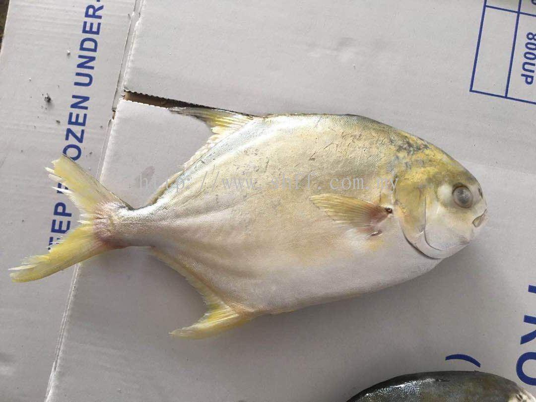Selangor Golden Pomfret Bawal Emas Frozen Fish From Soon Huat Frozen Food Sdn Bhd