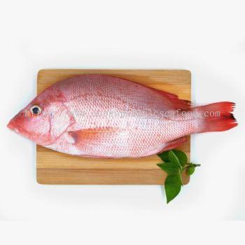 红鸡鱼 600+-gram/pcs