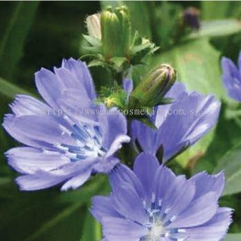 法国菊苣 LOX-AGE