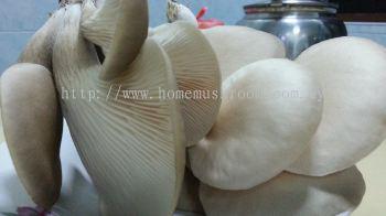 Cendawan Abalone - Home Mushroom