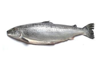 新鲜 三文鱼