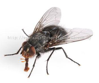 Common Flies Control