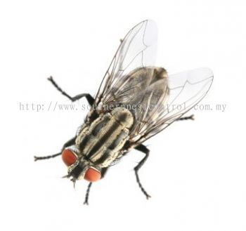 House Flies Control