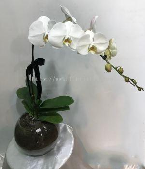 Real orchid Phalaenopsis (ROP - 005)