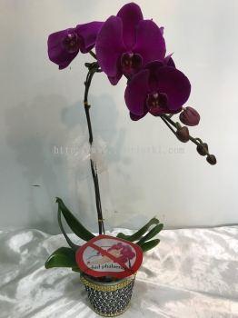 Real orchid Phalaenopsis (ROP - 006)