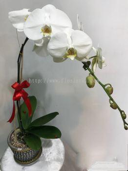 Real orchid Phalaenopsis (ROP - 007)