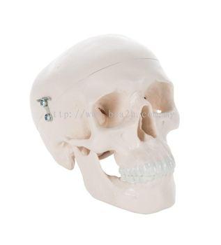 Mini Human Skull Model, 3 part - skullcap, base of skull, mandible