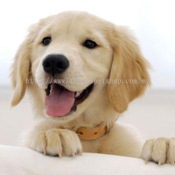 Golden Retriever Puppy �ƽ���Ȯ