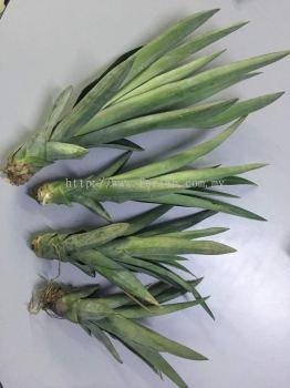 MD2 Pineapple Suckers