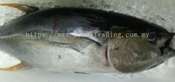 AM0003  Fresh Maguro Whole 新鲜金枪鱼(条)