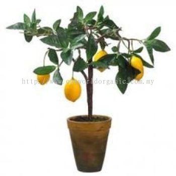 Lemon Sapling