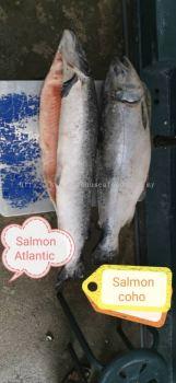 Salmon Atlantic & Salmon Coho