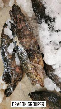 Ikan Dragon Grouper