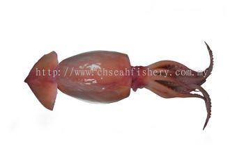 Brown Squid