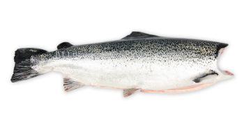 Salmon Coho Headless