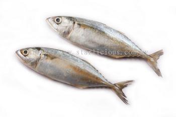 Ikan Kembong