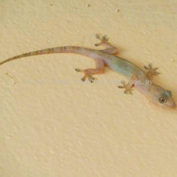 House Lizards Control