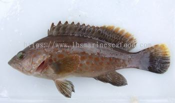 Fish Grouper