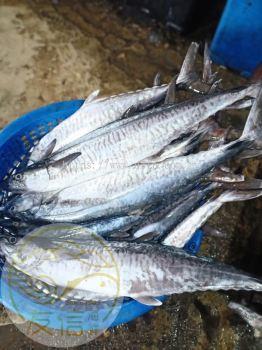 жёіогу(Spanish Mackerel)
