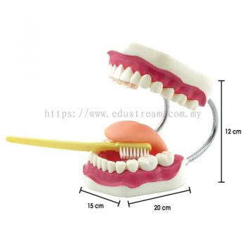 P172 Giant Teeth Dental Care Model