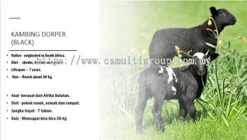 Black Goaf Dorper