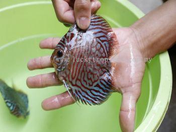 High Body Tiger Stripe Turquoise (��������ʯ)