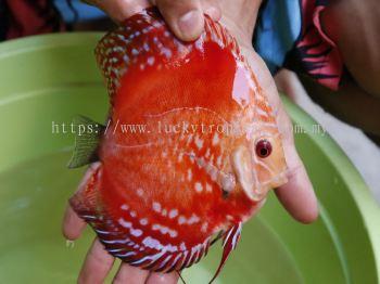 Rafflesia (����ʿ)