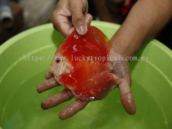 Mandarin Passion (�����λú�)